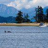A female, a baby and a male orca swam past ADAGIO in Drew Harbour.