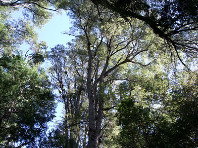 The Coihue trees dominated the landscape. In Tasmania, close relatives of these beech trees grow only30 feet tall at most.