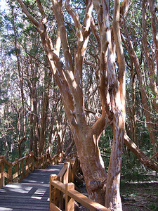 Here is one of the Arrayane trees up close, showing its smooth and peeling bark.