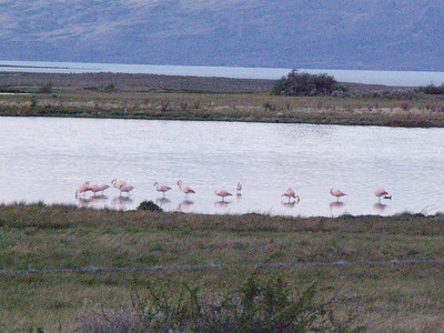 Flamingos in the ecological reserve in El Calafate, Argentina