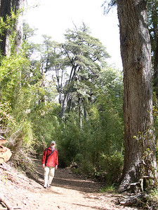 Steve is trying to give you a sense of the scale of these enormous Coihue trees, myrtle trees from the time of Gondwanaland. Many specimens are 500 to 600 years old.
