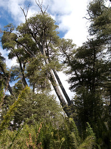 The towering Coihue trees have tiny, evergreen leaves, and sway in the strong winds.