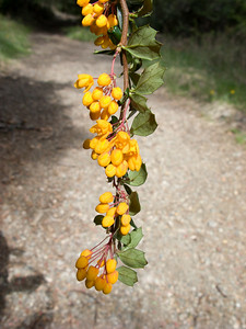 I think this is one of the native hollies, called Calafate.  We found it near Lago Escondido, Bariloche. The berries of some of the varieties are delicious.