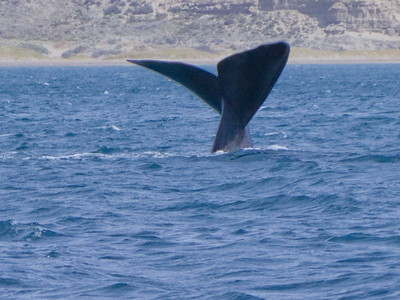 Our first sighting of a southern right whale.