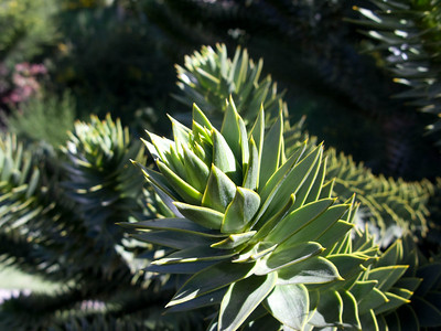 "This is a close up of the ""leaves"" of the Puehue tree (Monkey Puzzle tree)."