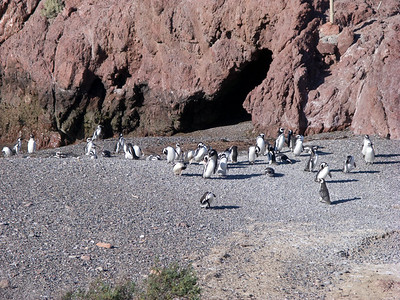 Penguins preening on the beach before walking to their nests.