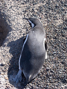 Many of the penguins were sunning themselves, perhaps after returning from their ocean feeding expedition.