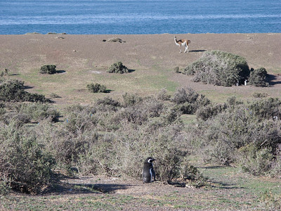 Guanacos share the land with the penguins.