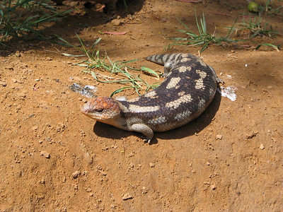 This is a Blue tongued lizard at the Bonorong Wildlife Park, Tasmania