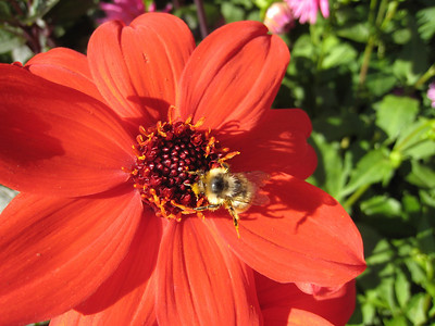 Dahlia and honeybee at Butchart Gardens