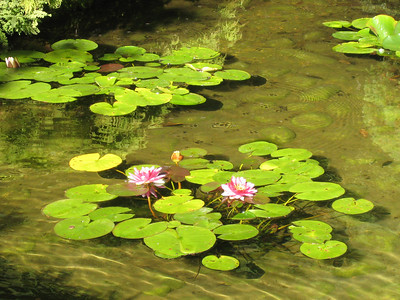Water lilies bloomed in the ponds.