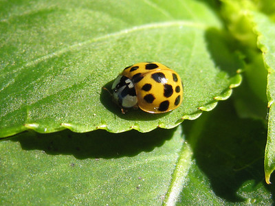 Have you ever seen a yellow lady bug?