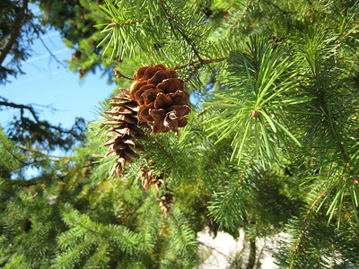 Douglas fir tree along the trail