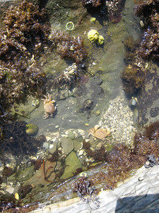 Tiny crabs in tidepool at Montague Harbour Marine Park