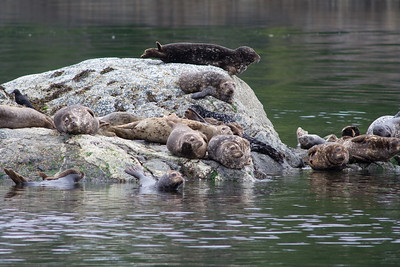 A colony of harbor seals