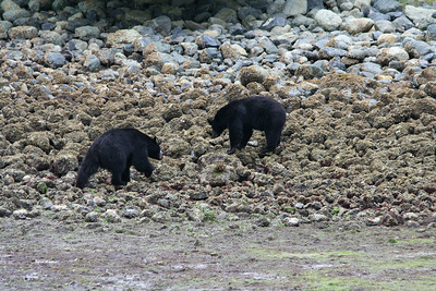 Mike thought these two bears were very likely siblings, as they were quietly feeding within a 50 meter radius of one another.