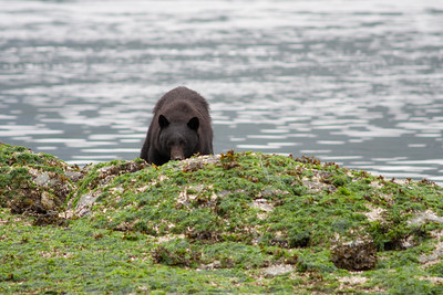 Mike chose the Tofino Peninsula side of the channel as the deeper near-shore water allowed us to get closer to the bears