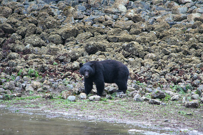 A much larger solitary bear