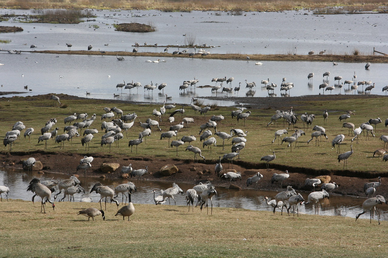 Crane Migration Park--up to 15,000 cranes come to this same location in Sweden every year