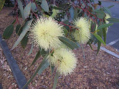 The Honeyeaters were feeding on these Eucalyptus flowers