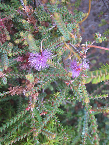Honeymyrtle, Melaleuca flowers