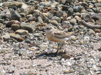 New Zealand Dotterel - the real deal.