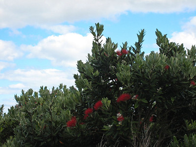 Pohutukawa blooms getting underway for the big Christmas show.
