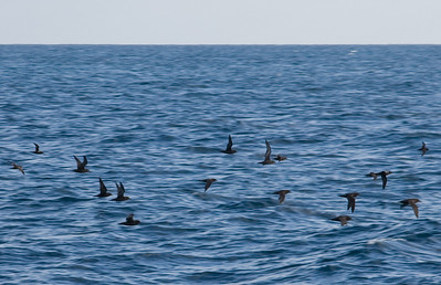 """Flocks of shearwaters, locally called """"Puffin of the Pacific"""" (Puffin fouquet) fly up and down the coast all day long."""