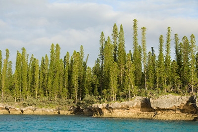 The pencil pines (Araucaria columnaris) grow best on the tops of blocks of dead coral, on the windward sides of islands.