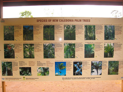Some of the most delicate and graceful palm trees in the world are native to New Caledonia.