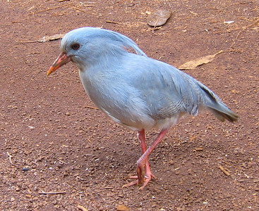 We were very fortunate to spend some time with a rare Kagu bird, national bird of New Caledonia.