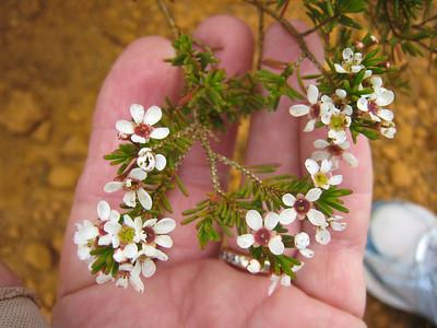 This looks like tea tree flowers to me.