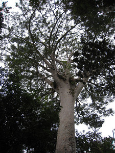This is the top of the largest Kaori tree in New Caledonia, estimated to be 1,000 years old.