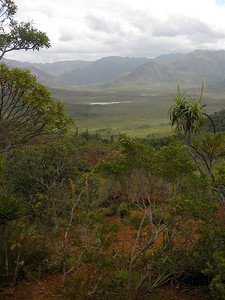 """The plant on the right, Dracophyllum sp., is very closely related to the plants we call """"Pandani"""" in Tasmania."""