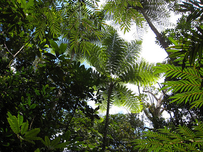 Tree ferns grow to enormous heights.