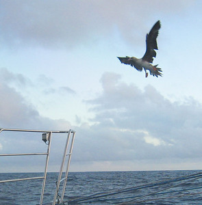 A red-footed booby, comes in for a landing on ADAGIO's bow pulpit.