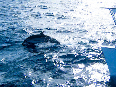 Small dorsal fins and stripes down the side indicate that these might be spinner dolphins.
