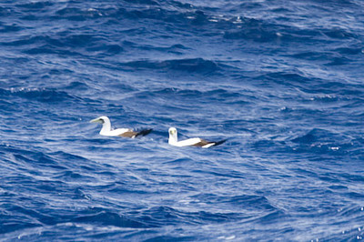 A pair of adult Masked boobies landed on the water as we sailed past.