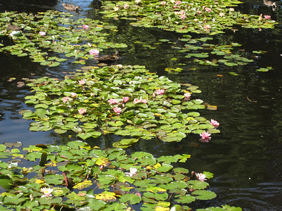 Waterlilies in the pond