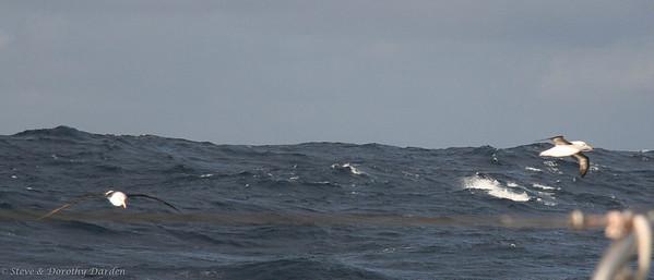 Two albatrosses