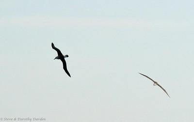 Shy Albatross on the right and Black-browed Albatross on the left.