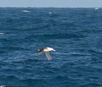Shy Albatross soaring between the waves.