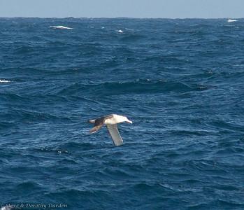 Shy Albatross soaring between the waves.