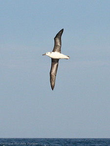 Juvenile Black-browed Albatross shows its pale neck collar and white  central under wing stripes.