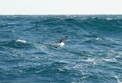 Black-browed & Shy Albatross