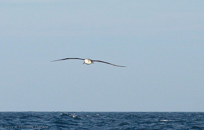 Juvenile Black-browed Albatross