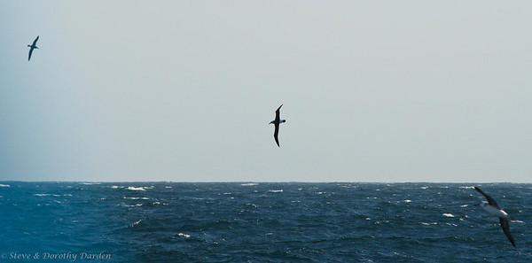 Three Albatross