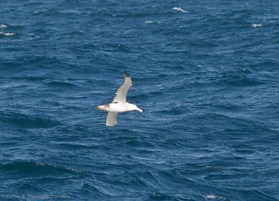 Shy Albatross soaring between the waves
