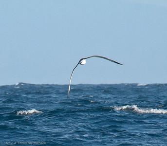 Shy Albatross ssoars on high aspect ratio wings.