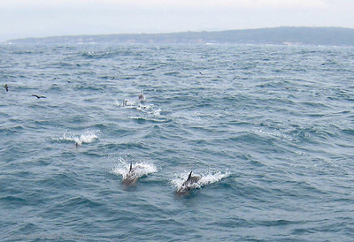 A second pod of dolphins came racing towards ADAGIO.